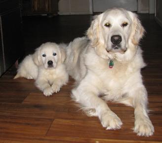 Golden retriever adoption san diego